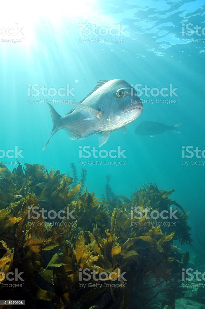 Snapper in sunrays stock photo