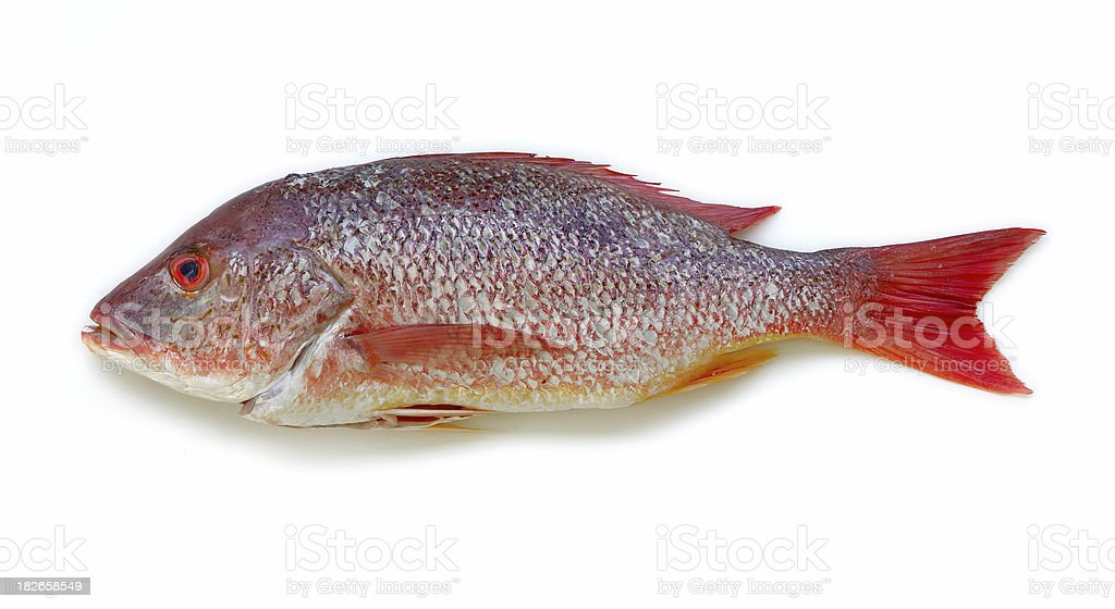 snapper isolated royalty-free stock photo