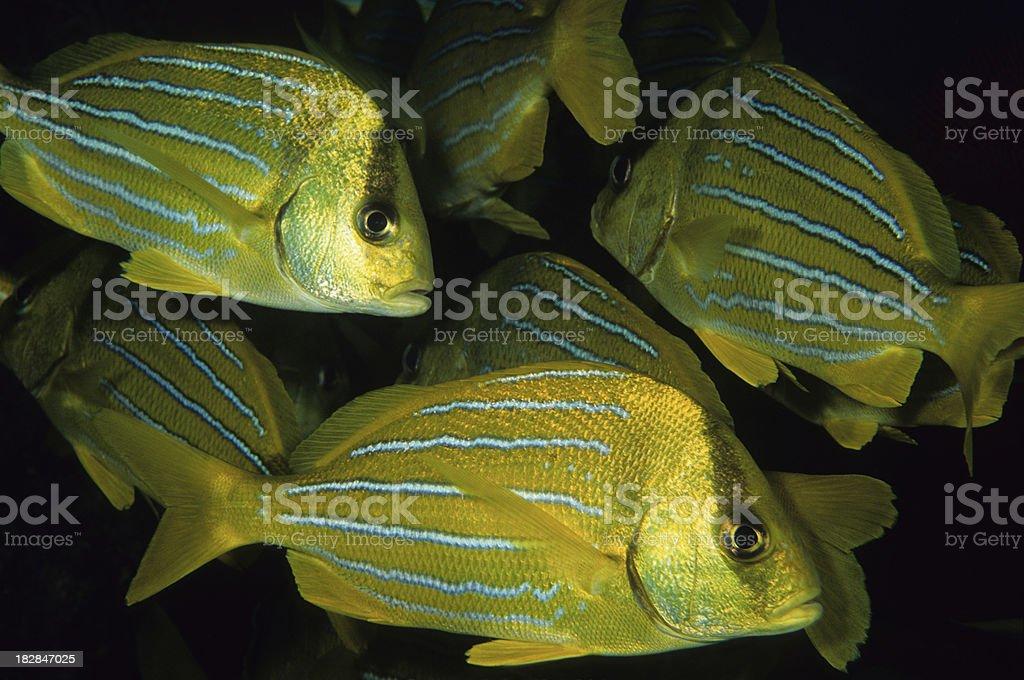 Snapper Parade, Panamic Porkfish stock photo