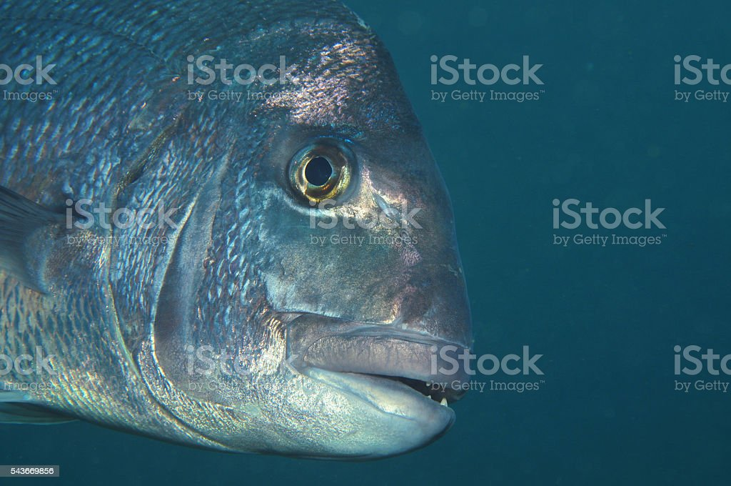 Snapper side face stock photo