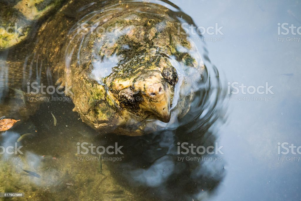 Snapper Turtle Looking At You (Close Up) stock photo