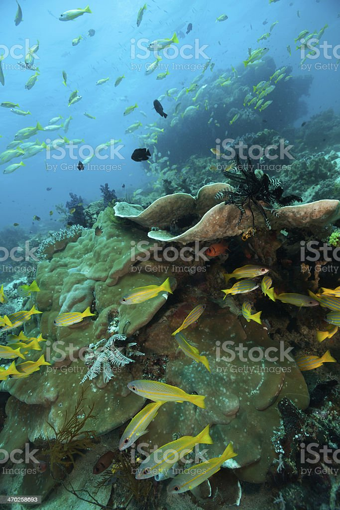 Snappers Paradise at an Outer Reef Raja Ampat, Indonesia stock photo