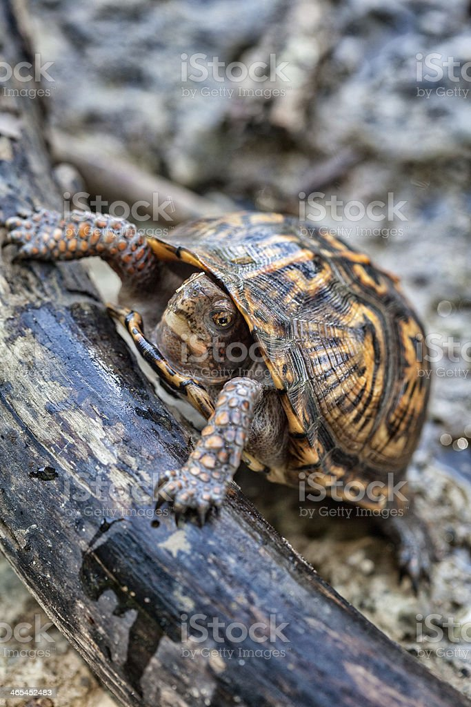 Snapping Turtle by the River stock photo