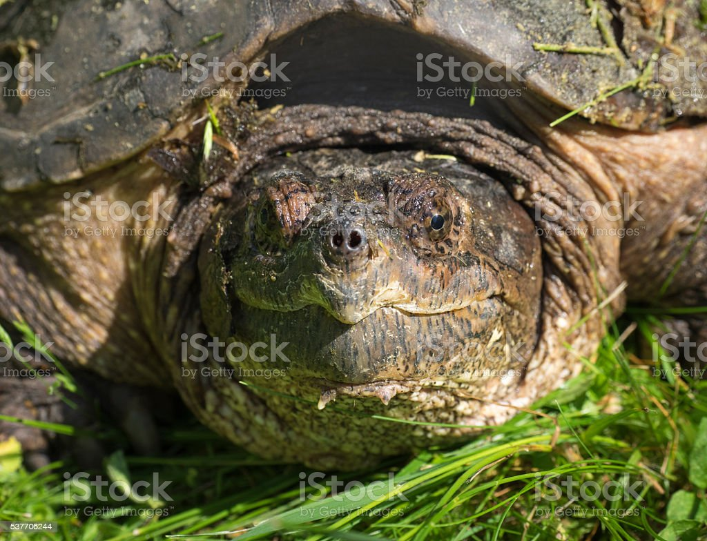 Snapping Turtle Closeup stock photo