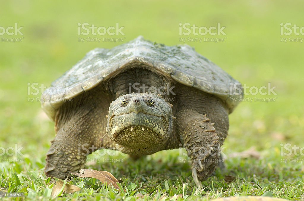 Snapping Turtle, Front View stock photo