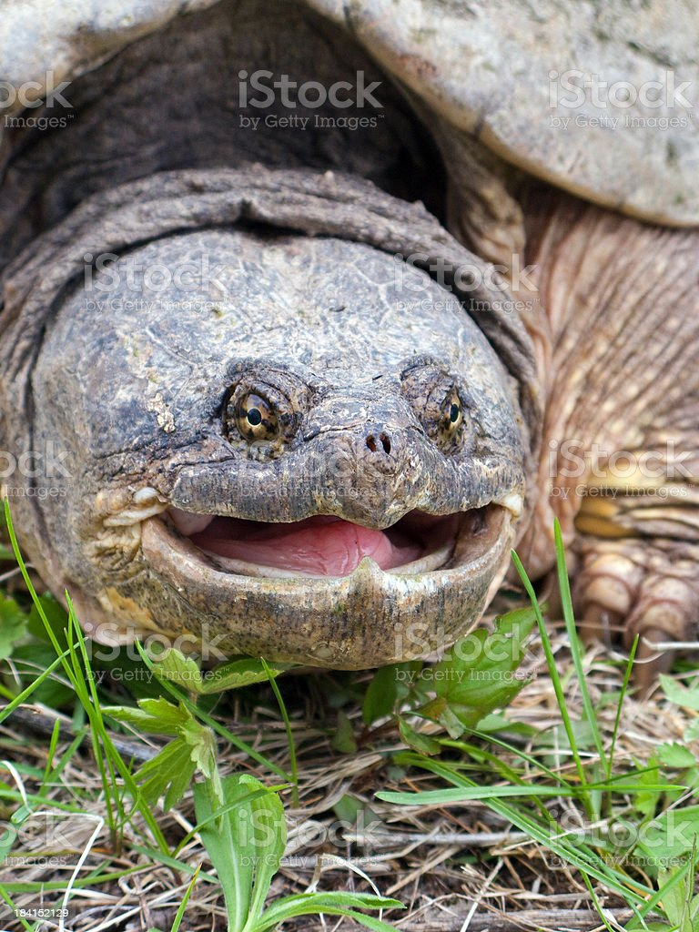 Snapping Turtle Head stock photo