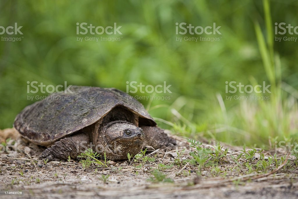 snapping turtle horizontal with copy space stock photo