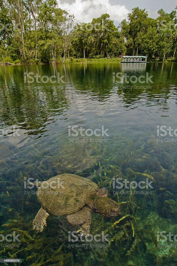 Snapping Turtle in Clear Spring Water with Glass Bottom Boat stock photo