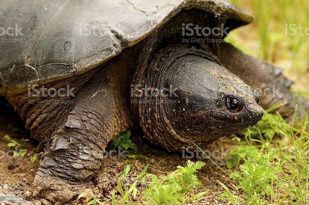 Snapping Turtle Laying Eggs royalty-free stock photo