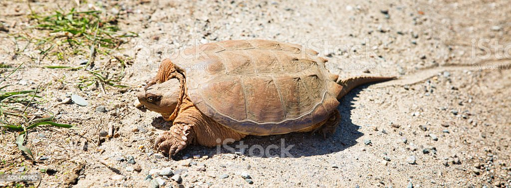 Snapping turtle making its way across dirt road panorama stock photo