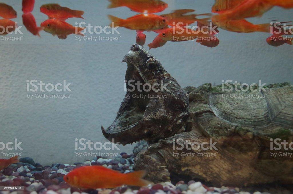 Tortuga mordedora foto de stock libre de derechos