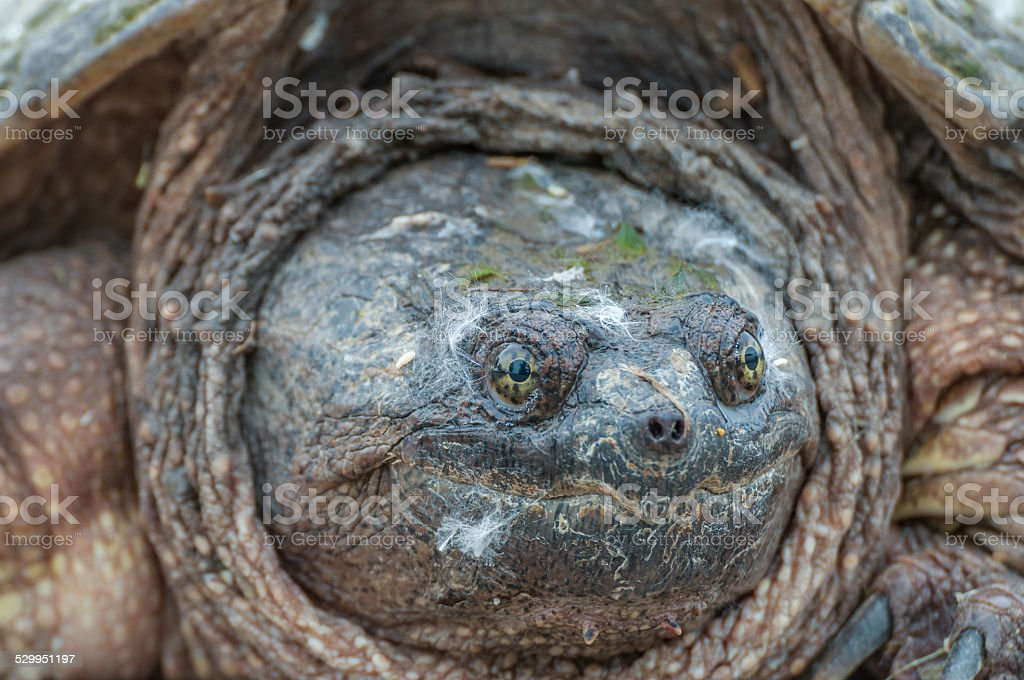 Snapping Turtle. stock photo