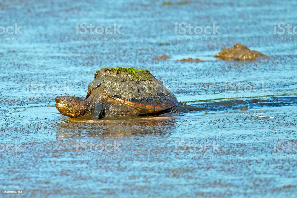 Snapping Turtle stock photo