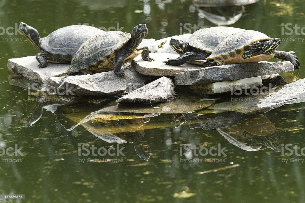 Snapping turtles stock photo