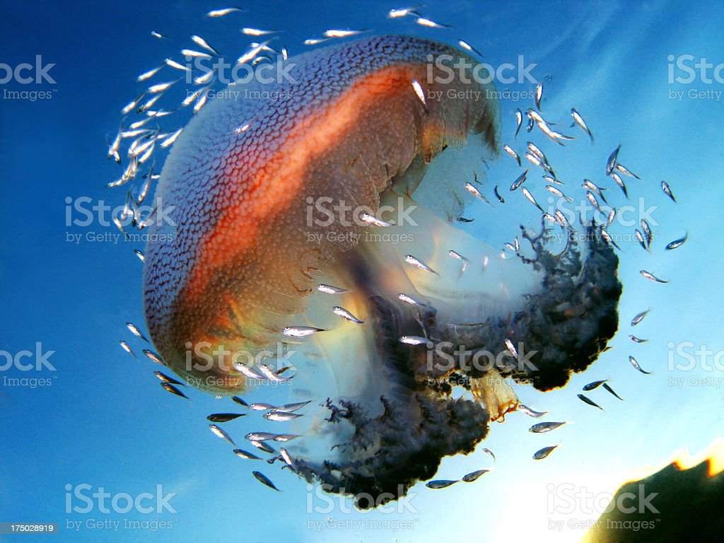Snapshot of jellyfish surrounded by smaller fish stock photo