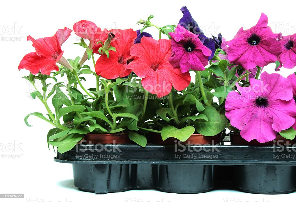 A snapshot of some beautiful, bright petunias in a gray royalty-free stock photo