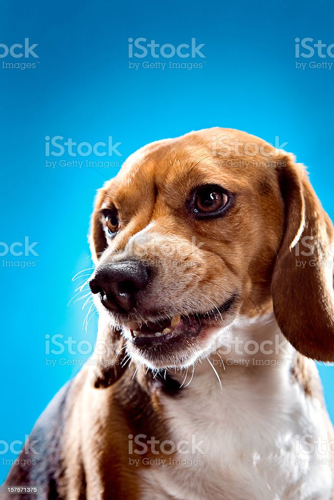 Snarling Angry Beagle stock photo