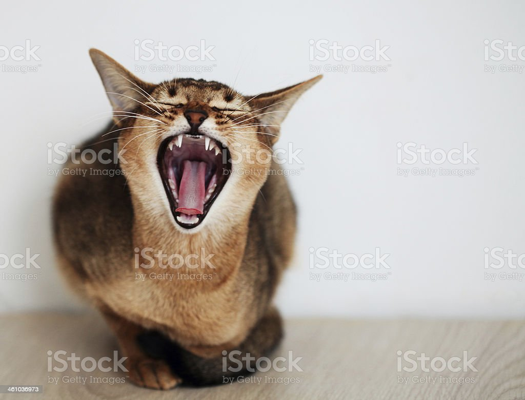 snarling cat stock photo