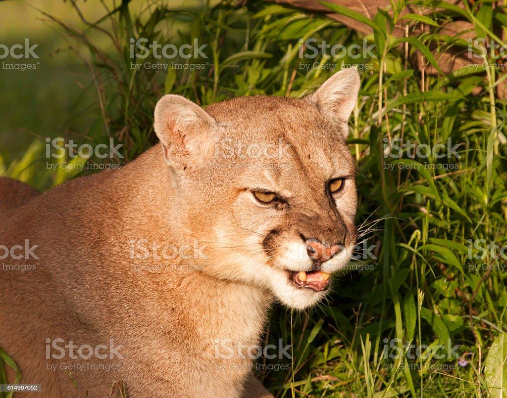 Snarling Cougar stock photo