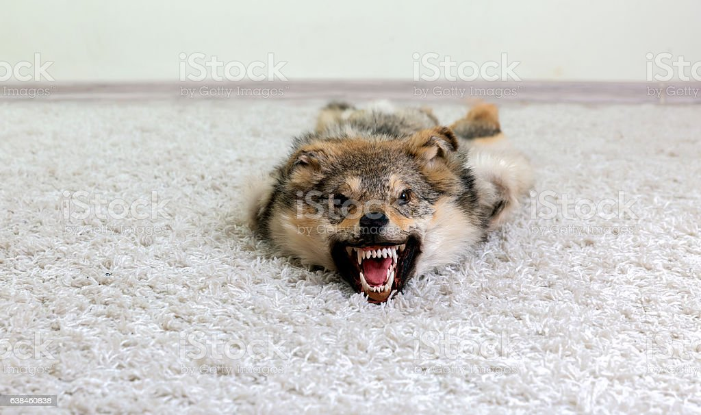 Snarling stuffed wolf lying on white carpet stock photo