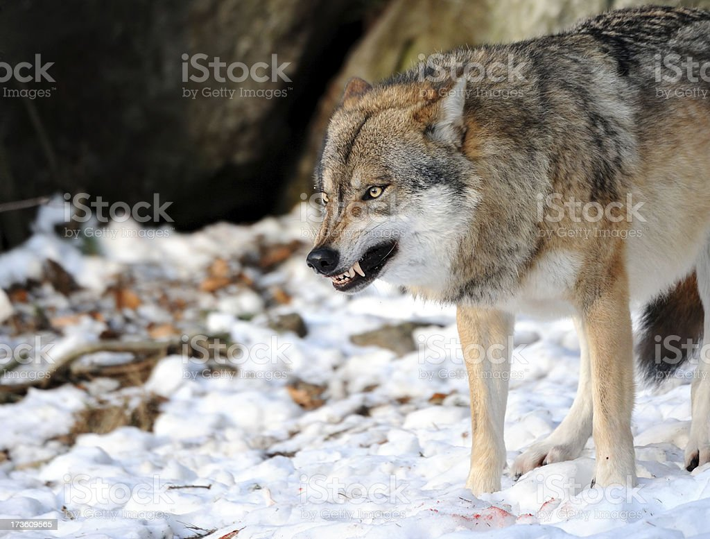 snarling wolf stock photo