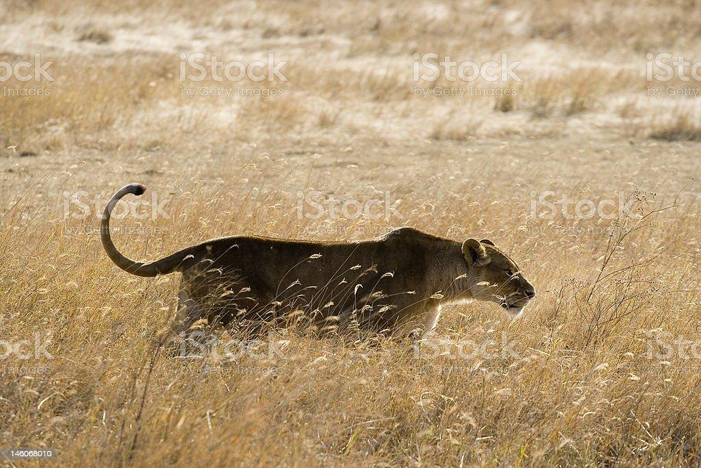 Lionne porter au quotidien photo libre de droits