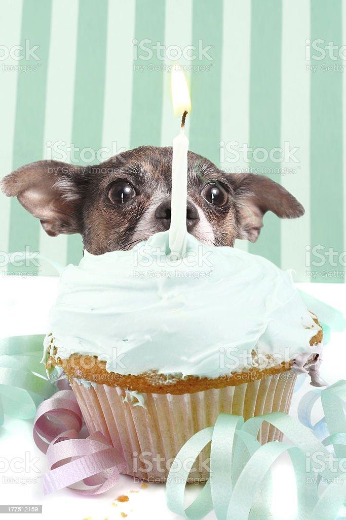 Sneaky dog behind birthday cupcake royalty-free stock photo