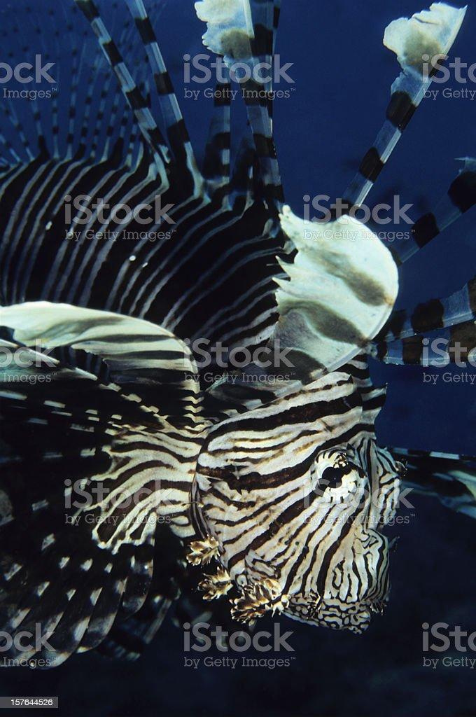 Sneaky Lionfish stock photo