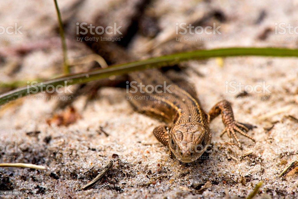 Sneaky lizard stock photo