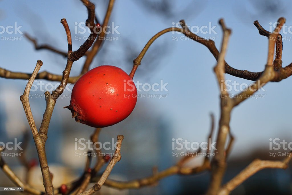 Single red crabapple fruit on tree in winter stock photo