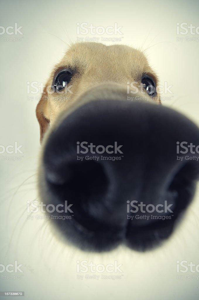 Sniff, Snif royalty-free stock photo