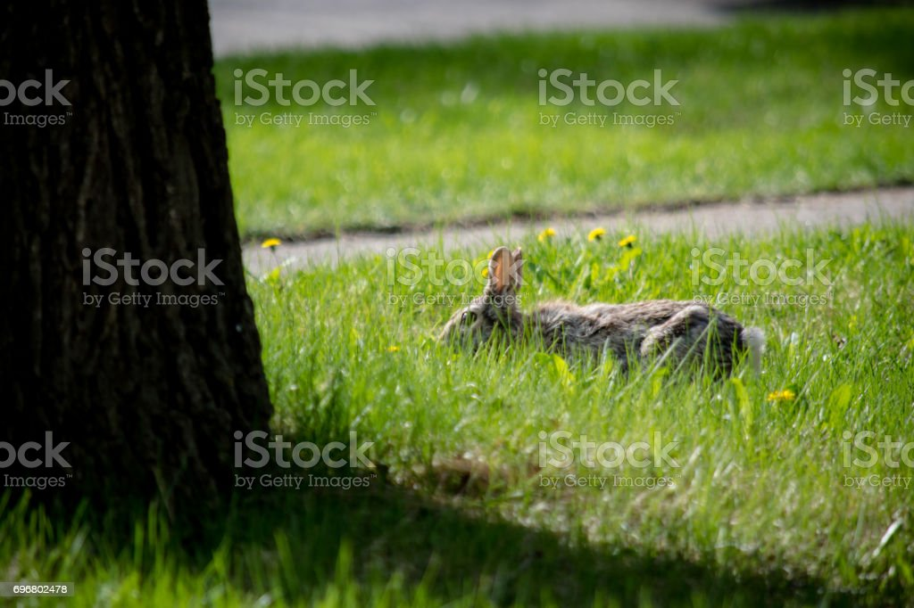 sniffing bunny stock photo