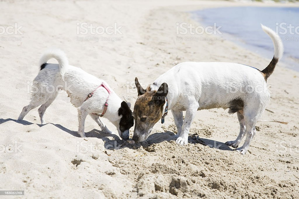 Sniffing Dogs stock photo