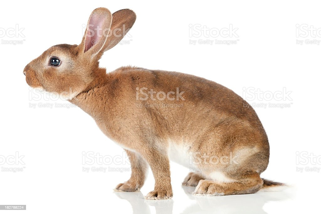 Sniffing Rabbit stock photo