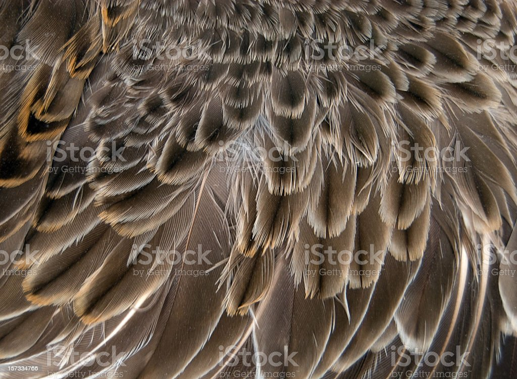 Snipe Wing Close-up stock photo