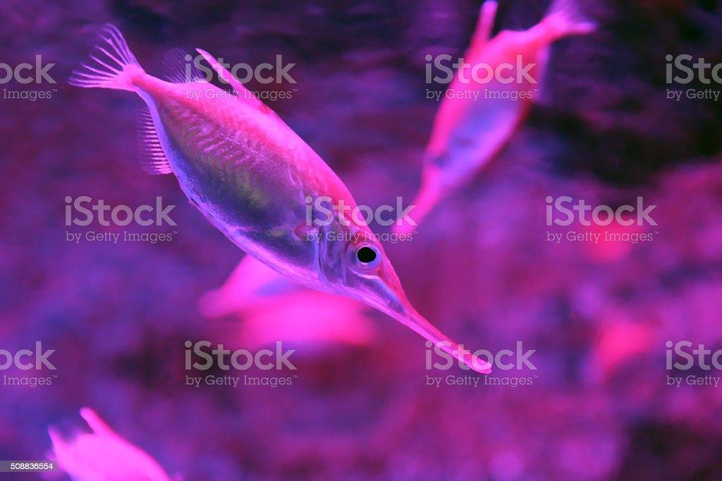 Snipefish underwater stock photo