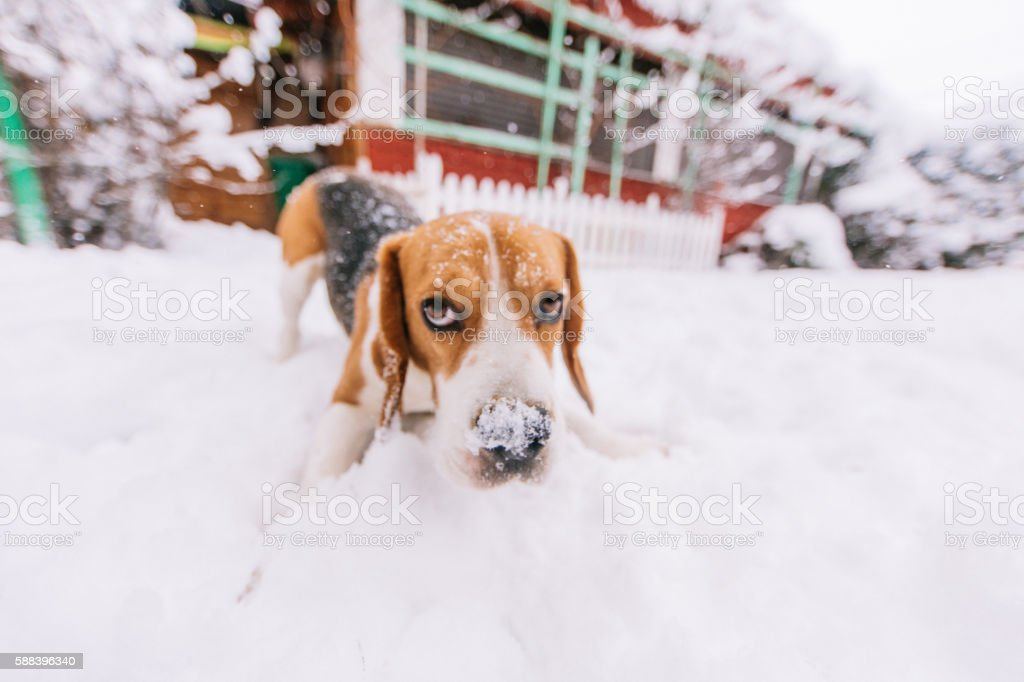 Snooping around on the snow stock photo