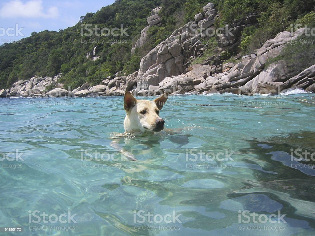 Snorkeling Dog royalty-free stock photo