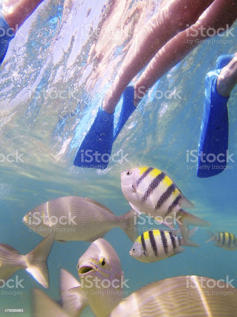 Snorkeling in Kauai, Hawaii with Tropical Coral Reef Fishes royalty-free stock photo