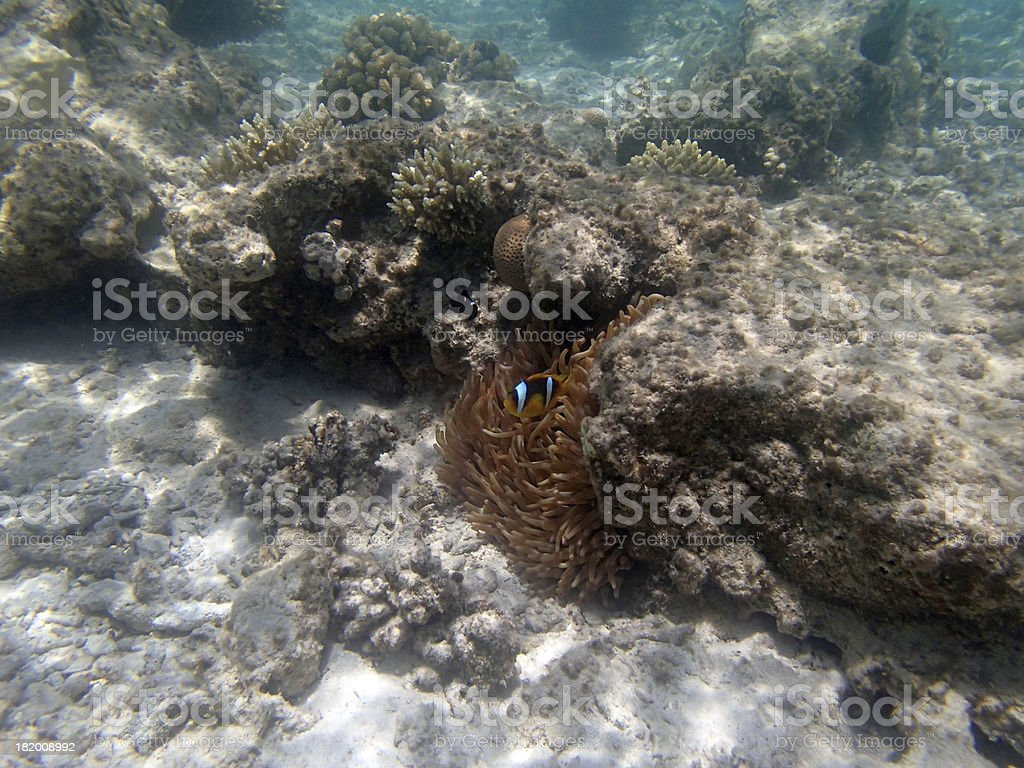 snorkeling in the red sea royalty-free stock photo