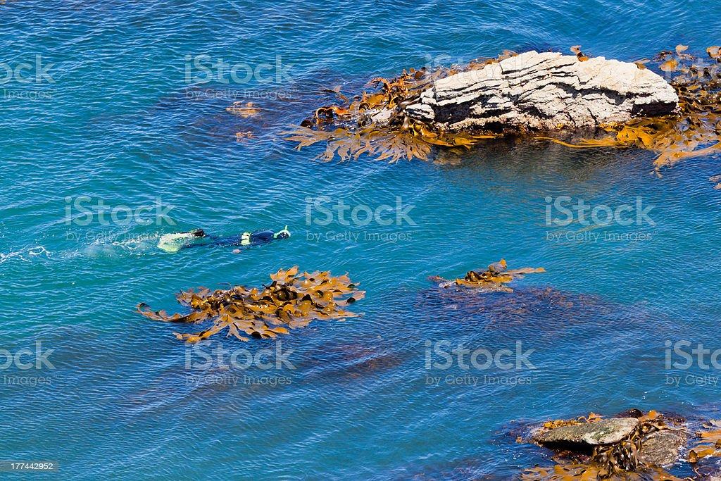 Snorkeller in ocean between rocks and bull kelp royalty-free stock photo