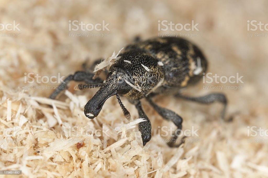 Snout beetle (Hylobius abietis) macro photo royalty-free stock photo