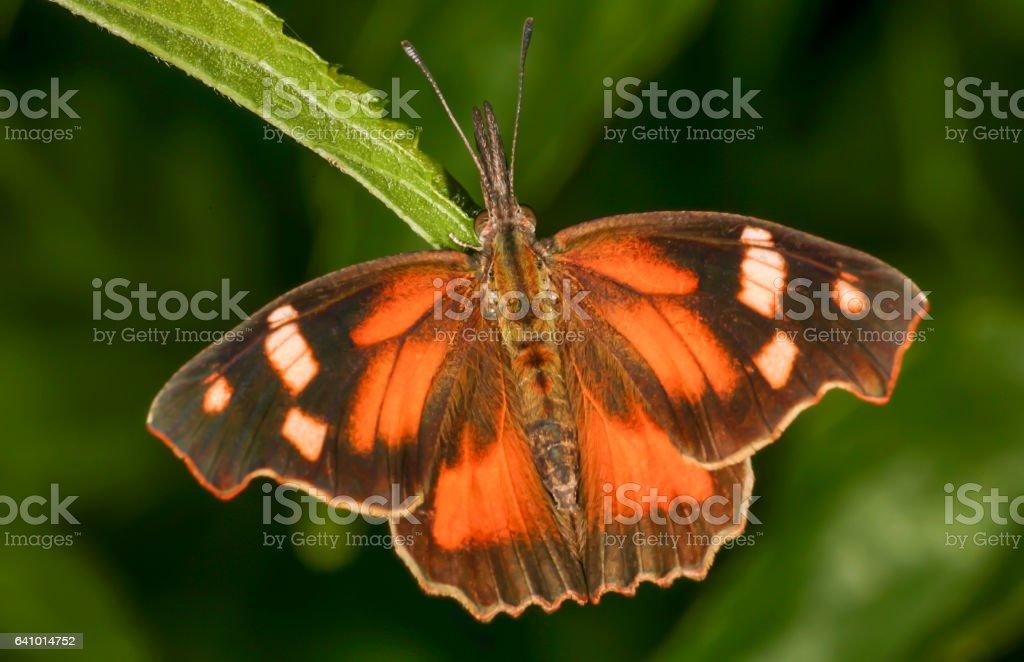 Snout Butterfly stock photo
