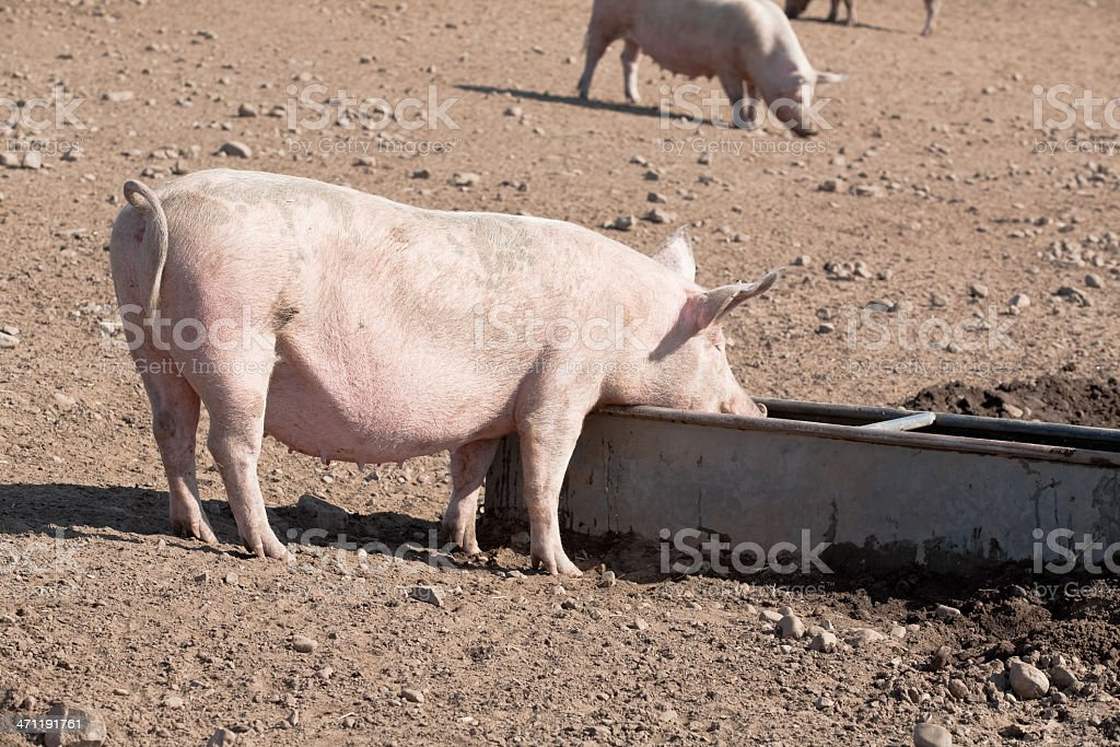 Snout in the trough royalty-free stock photo
