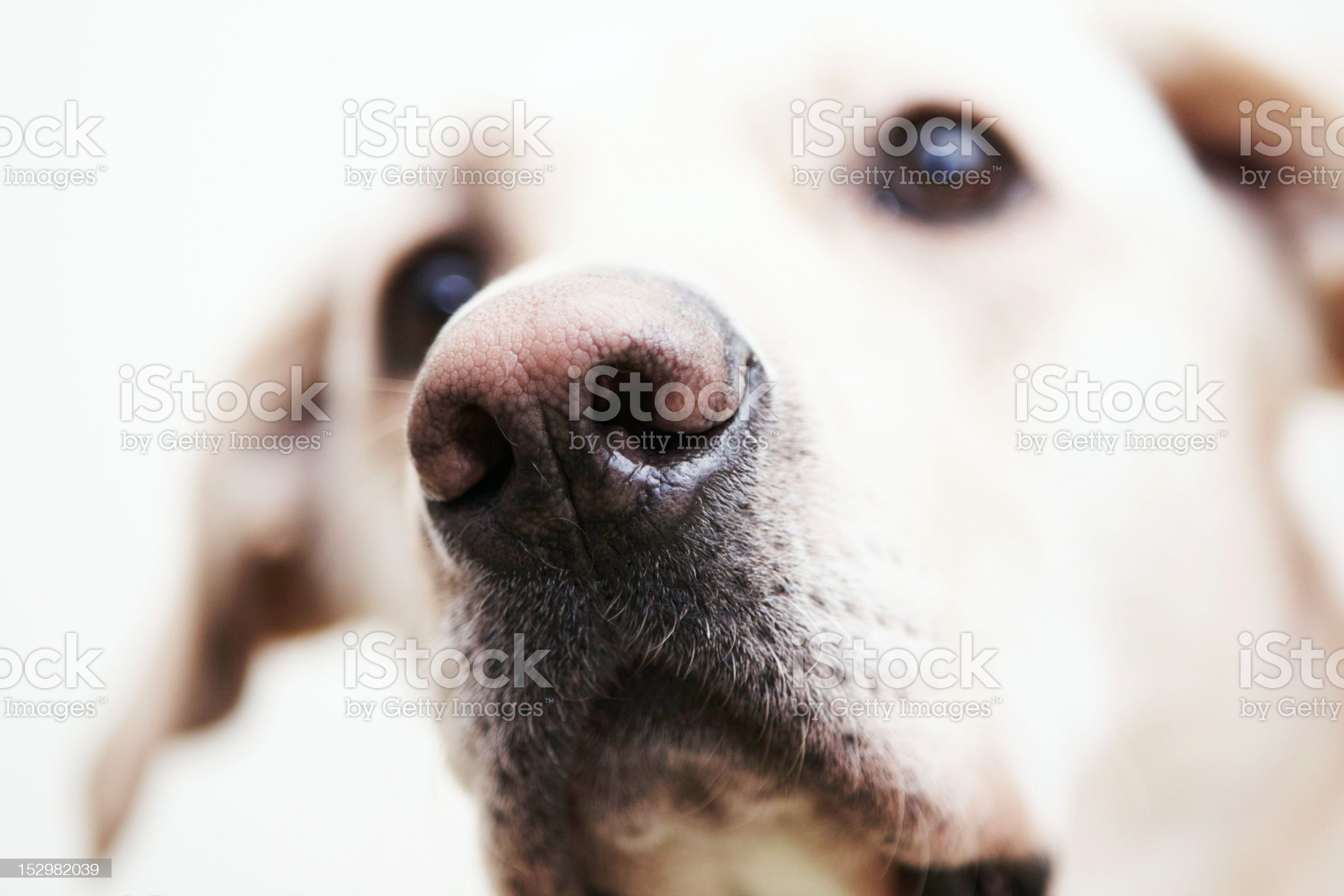 Snout royalty-free stock photo
