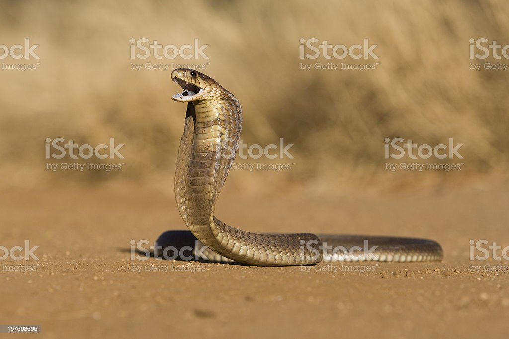 Snouted cobra stock photo