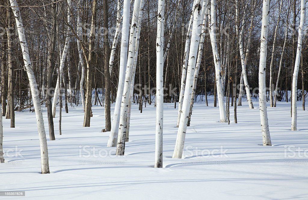 Snow and Birch Trees stock photo