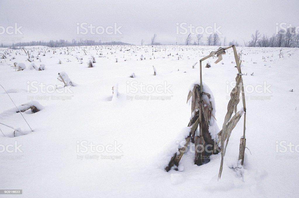 snow and cornstalk stock photo