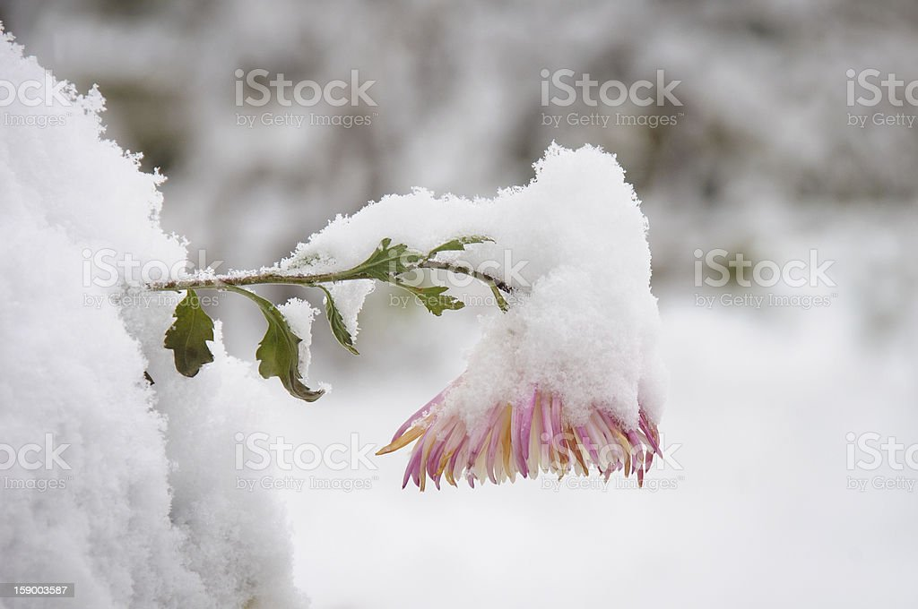 Snow and Flower royalty-free stock photo