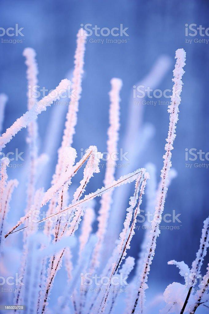 Snow and frost covered bush branches royalty-free stock photo